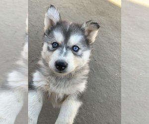 Siberian Husky Puppy for Sale in NUEVO, California USA