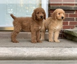 Small #27 Goldendoodle-Poodle (Standard) Mix