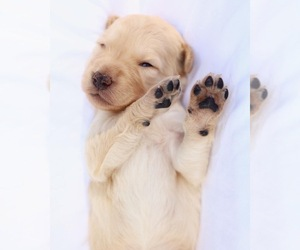 Goldendoodle Puppy for sale in LUSBY, MD, USA
