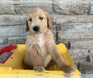 Goldendoodle Puppy for Sale in NEW HAVEN, Indiana USA