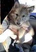 Wolamute Puppy For Sale in MONROE, WI