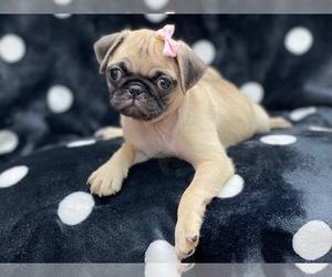 Pug Dog for Adoption in LAKELAND, Florida USA