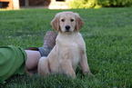 Golden Retriever Puppy For Sale in SUGARCREEK, OH,