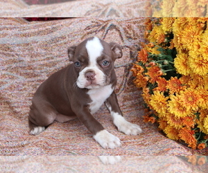 Boston Terrier Puppy for sale in SHILOH, OH, USA