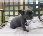 Small #8 French Bulldog