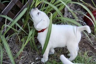 Labrador Retriever Puppy For Sale in LAWTON, OK