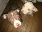 American Pit Bull Terrier Puppy For Sale in MAYWOOD, IL