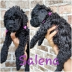 Double Doodle Puppy For Sale in LAVACA, Arkansas,