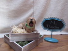 Goldendoodle Puppy For Sale in SHINGLE SPRINGS, CA, USA