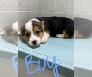 Cardigan Welsh Corgi Dog for Adoption in CLARE, Illinois USA