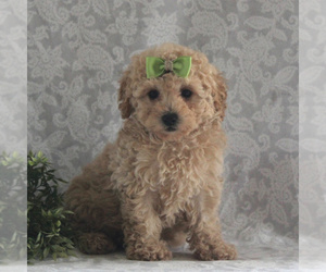 Poochon Puppy for sale in GORDONVILLE, PA, USA