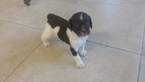 Brittany Puppy For Sale in HORIZON CITY, TX