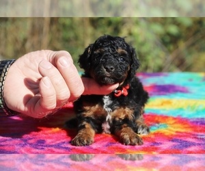 Poodle (Toy) Puppy for sale in UNION CITY, TN, USA