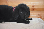 Golden Mountain Dog puppies Ready Now
