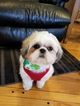 Shih Tzu Puppy For Sale in SALISBURY, NC, USA