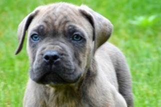 Cane Corso Puppy For Sale in LANCASTER, SC, USA