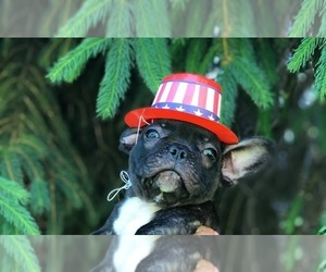 French Bulldog Puppy for sale in COLCHESTER, CT, USA