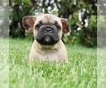 Puppy 7 French Bulldog