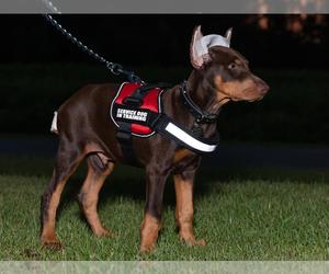 Doberman Pinscher Puppy for Sale in MOUNT OLIVE, North Carolina USA