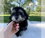 Small #7 Havanese-Poodle (Toy) Mix