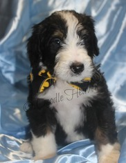 Bernese Mountain Poo Puppy For Sale in MABELVALE, AR, USA
