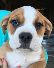 Olde English Bulldogge Puppy For Sale in CANYON LAKE, TX