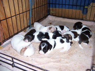 Dachshund Puppy For Sale in TRACY, CA