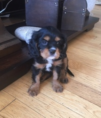 Cavalier King Charles Spaniel Puppy For Sale in AMES, IA, USA