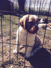 Brittany Puppy For Sale in GRANDVIEW, MO