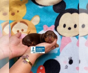 Dachshund Puppy for sale in WINNSBORO, LA, USA
