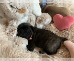 Puppy 6 Frenchie Pug