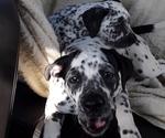 Small American Bulldog-Bullmatian Mix