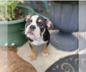English Bulldog Puppy for sale in RIVERTON, UT, USA