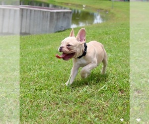 French Bulldog Puppy for Sale in CAPE CORAL, Florida USA