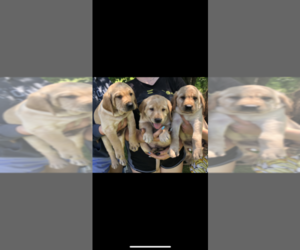 Chesador Puppy for sale in SAINT CLOUD, MN, USA