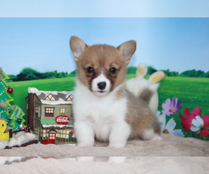 Pembroke Welsh Corgi Puppy for sale in LOS ANGELES, CA, USA