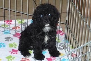 Cockapoo Puppy for sale in TUCSON, AZ, USA