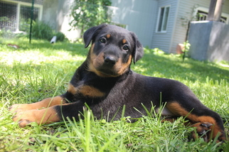 View Ad Beauceron Puppy For Sale Minnesota Hutchinson Usa