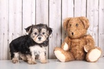 Morkie Puppy For Sale in MOUNT VERNON, OH, USA