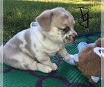 Puppy 0 French Bullhuahua