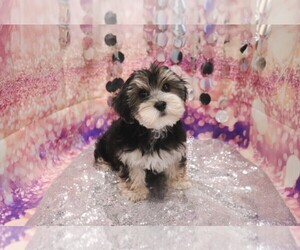 Morkie Puppy for sale in LAS VEGAS, NV, USA