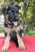 German Shepherd Dog Puppy For Sale in LOVETTSVILLE, VA