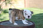 English Bulldog Puppy For Sale in PALMDALE, CA, USA
