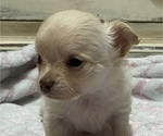 Small Photo #4 Chihuahua Puppy For Sale in NEVADA, TX, USA