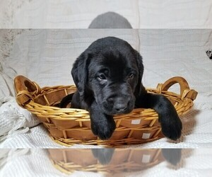 Labrador Retriever Puppy for Sale in CATO, New York USA