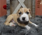 Small #2 American Pit Bull Terrier