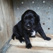 German Shorthaired Lab Puppy For Sale in BAKERSFIELD, CA