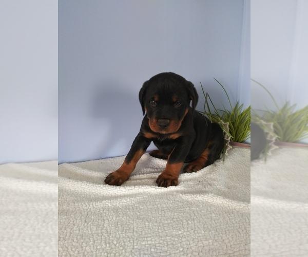 Medium Photo #1 Rottweiler Puppy For Sale in SHIPSHEWANA, IN, USA