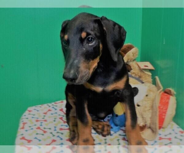View Ad: Doberman Pinscher Puppy for Sale near Singapore