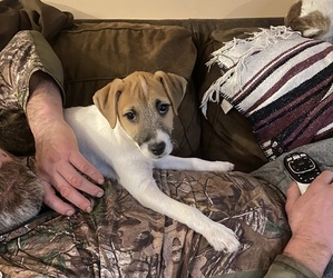 Jack Russell Terrier Puppy for sale in FREEMAN, MO, USA